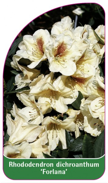 Rhododendron dichroanthum 'Forlana', 68 x 120 mm
