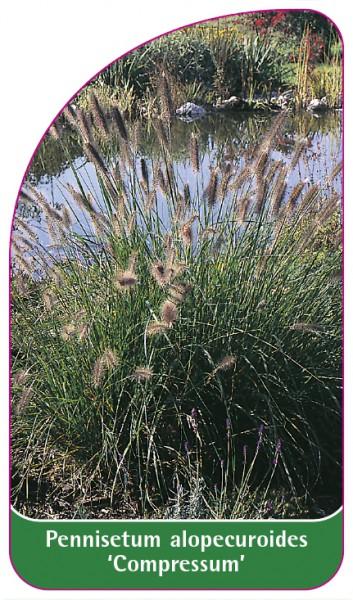 Pennisetum alopecuroides 'Compressum', 68 x 120 mm