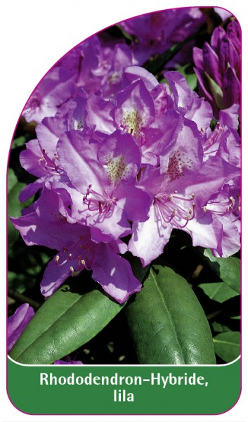 Rhododendron-Hybride, lila, 68 x 120 mm