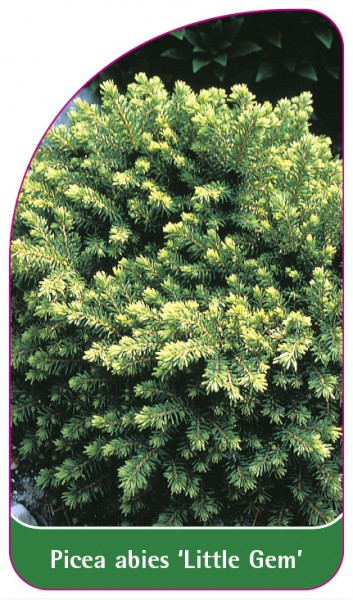 Picea abies 'Little Gem', 68 x 120 mm