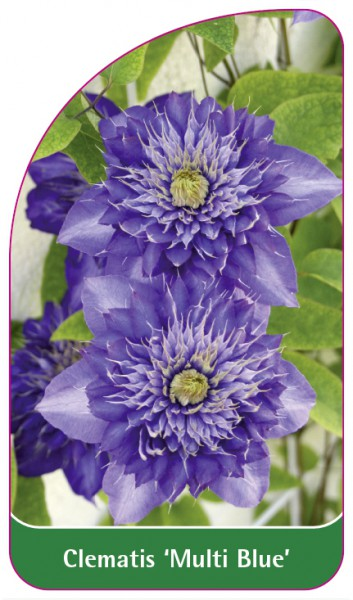 Clematis 'Multi Blue', 68 x 120 mm