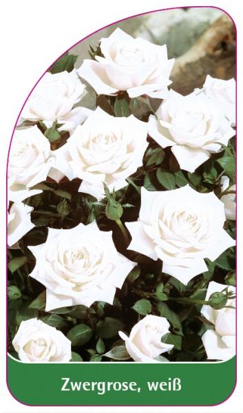 Zwergrose, weiß, 68 x 120 mm