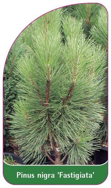 Pinus nigra 'Fastigiata', 68 x 120 mm