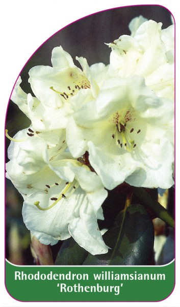 Rhododendron williamsianum 'Rothenburg', 68 x 120 mm