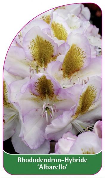 Rhododendron-Hybride 'Albarello', 68 x 120 mm