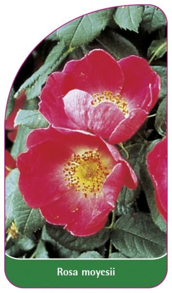 Rosa moyesii, 68 x 120 mm