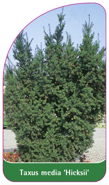 Taxus media 'Hicksii', 68 x 120 mm