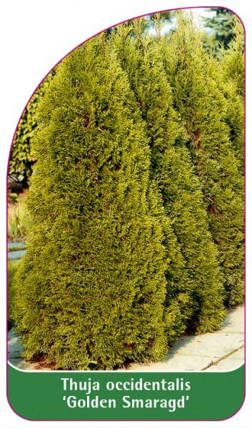Thuja occidentalis 'Golden Smaragd', 68 x 120 mm