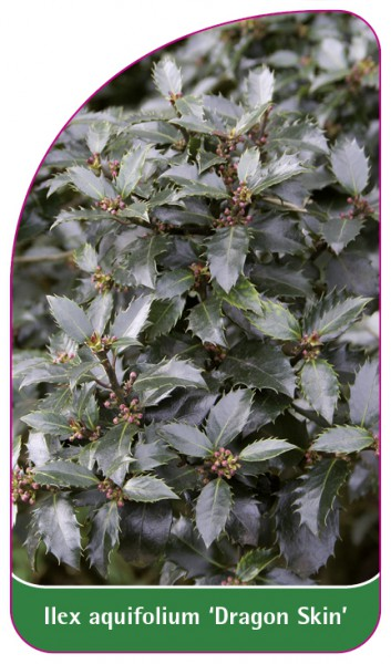 Ilex aquifolium 'Dragon Skin', 68 x 120 mm