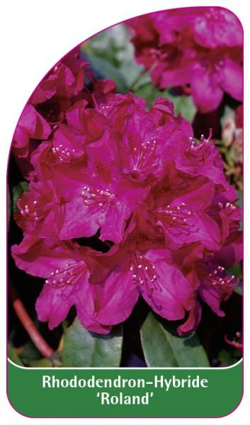 Rhododendron-Hybride 'Roland', 68 x 120 mm