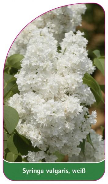 Syringa vulgaris, weiß, 68 x 120 mm