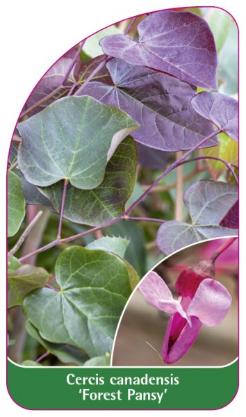 Cercis canadensis 'Forest Pansy', 68 x 120 mm