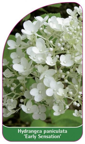 Hydrangea paniculata 'Early Sensation', 68 x 120 mm