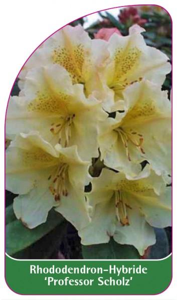 Rhododendron-Hybride 'Professor Scholz', 68 x 120 mm