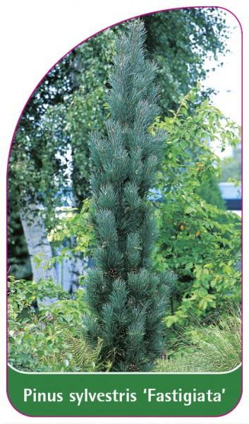 Pinus sylvestris 'Fastigiata', 68 x 120 mm