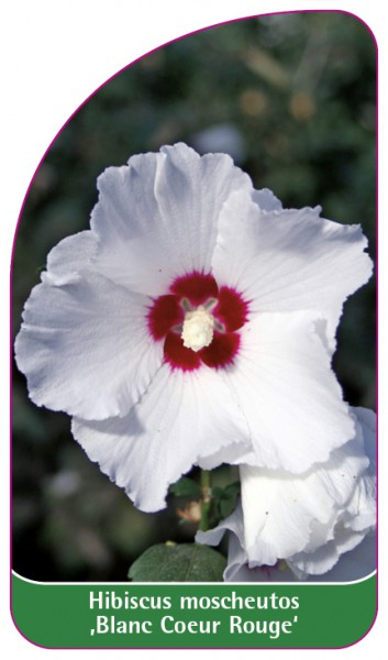 Hibiscus moscheutos ,Blanc Coeur Rouge', 68 x 120 mm