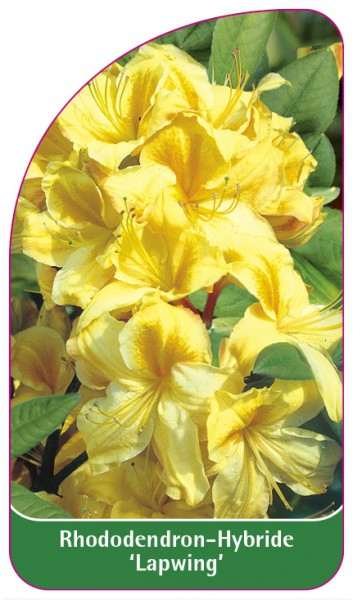 Rhododendron-Hybride 'Lapwing', 68 x 120 mm