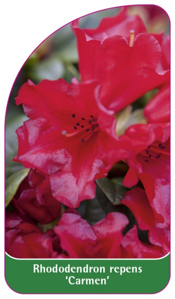 Rhododendron repens 'Carmen', 68 x 120 mm
