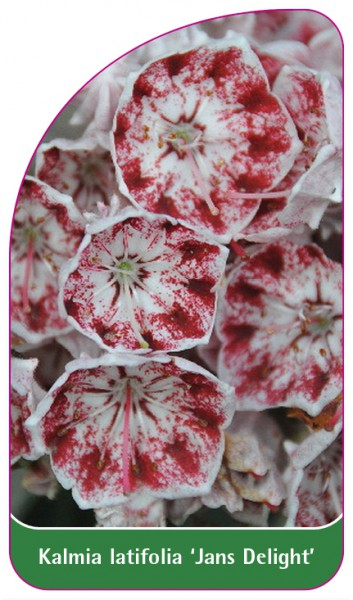 Kalmia latifolia 'Jans Delight', 68 x 120 mm