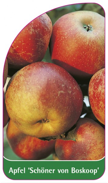 Apfel 'Schöner von Boskoop', 68 x 120 mm