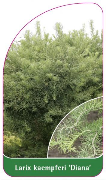 Larix kaempferi 'Diana', 68 x 120 mm