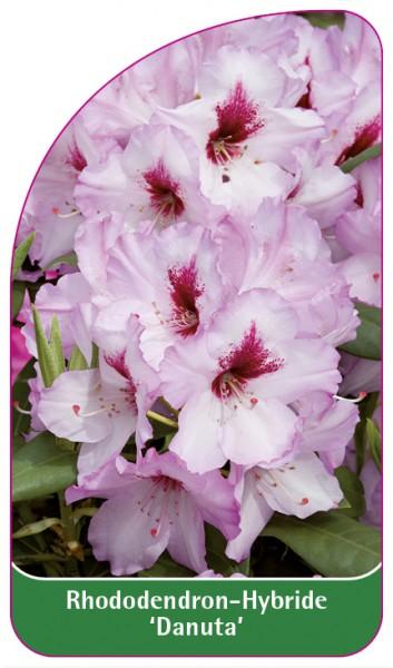 Rhododendron-Hybride 'Danuta', 68 x 120 mm