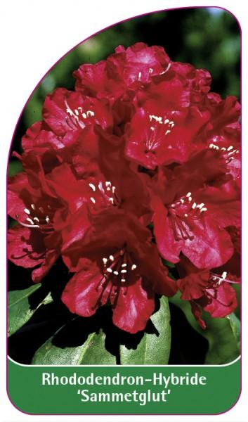 Rhododendron-Hybride 'Scyphocalix', 68 x 120 mm