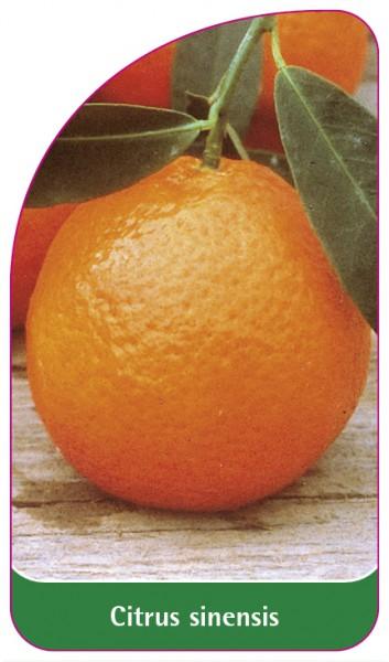 Citrus sinensis, 68 x 120 mm
