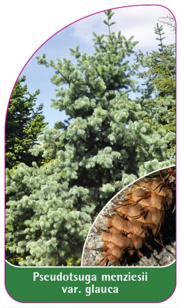 Pseudotsuga menziesii var. glauca, 68 x 120 mm