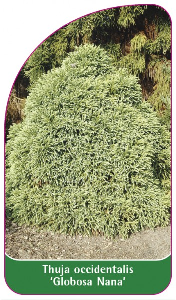 Thuja occidentalis 'Globosa Nana', 68 x 120 mm