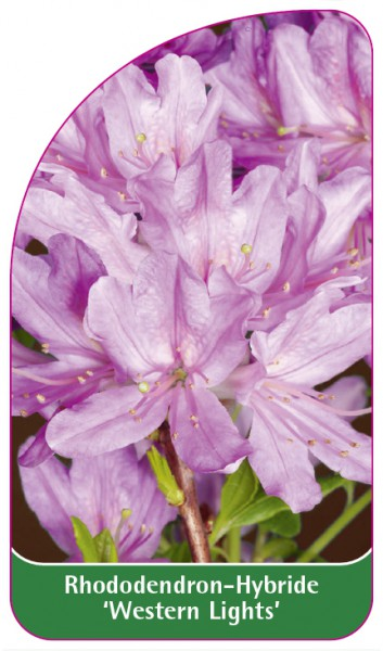Rhododendron-Hybride 'Western Lights', 68 x 120 mm