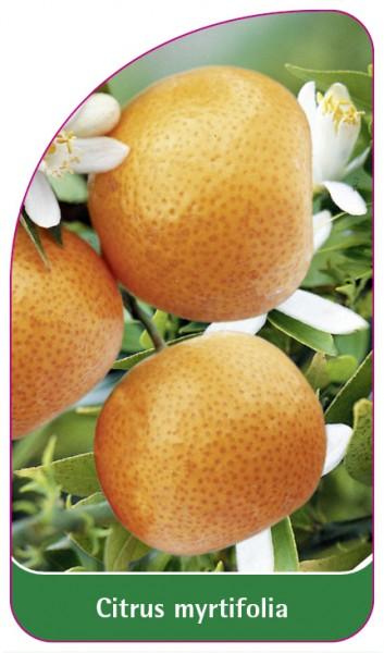Citrus myrtifolia, 68 x 120 mm