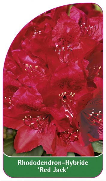 Rhododendron-Hybride 'Red Jack', 68 x 120 mm