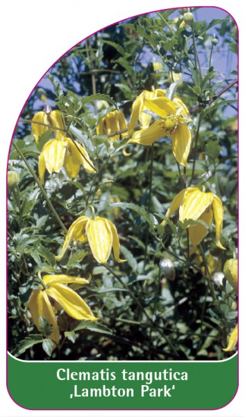 Clematis tangutica 'Lambton Park', 68 x 120 mm