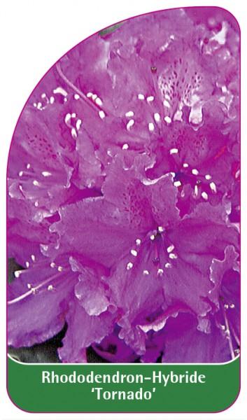 Rhododendron-Hybride 'Tornado', 68 x 120 mm