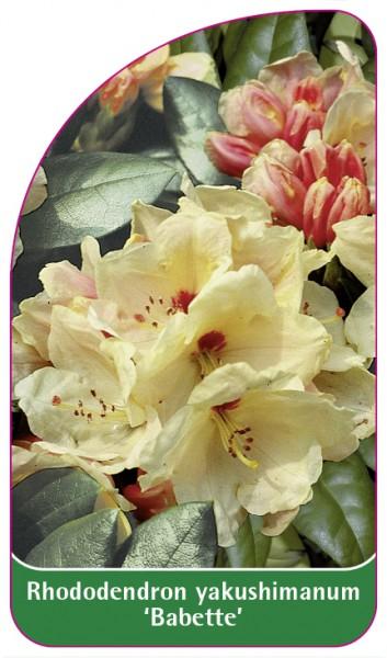 Rhododendron yakushimanum 'Babette', 68 x 120 mm