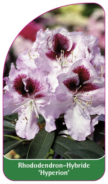 Rhododendron-Hybride 'Hyperion', 68 x 120 mm