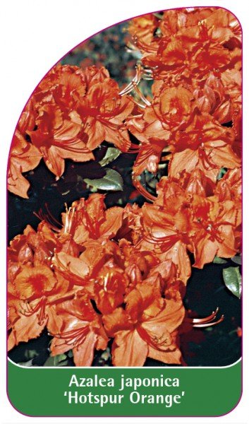 Azalea japonica 'Hotspur Orange', 68 x 120 mm