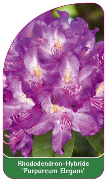 Rhododendron-Hybride 'Purpureum Elegans', 68 x 120 mm