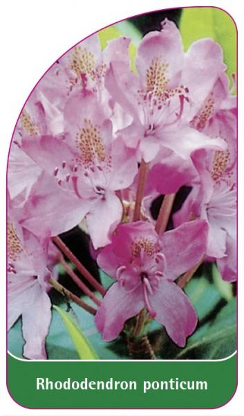 Rhododendron ponticum, 68 x 120 mm