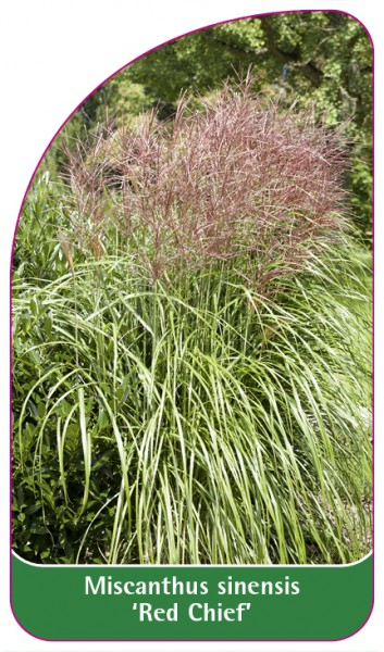 Miscanthus 'Red Chief', 68 x 120 mm