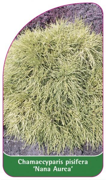 Chamaecyparis pisifera 'Nana Aurea', 68 x 120 mm