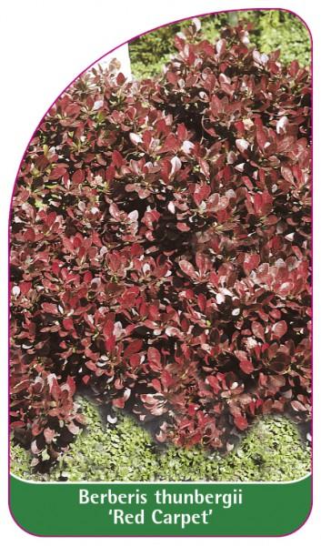 Berberis thunbergii 'Red Carpet', 68 x 120 mm