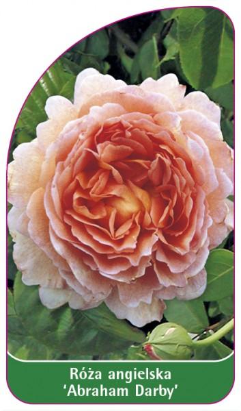 Róza angielska 'Abraham Darby', 68 x 120 mm
