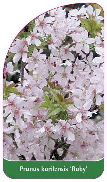 Prunus kurilensis 'Ruby', 68 x 120 mm