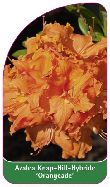 Azalea Knap-Hill-Hybride 'Orangeade', 68 x 120 mm