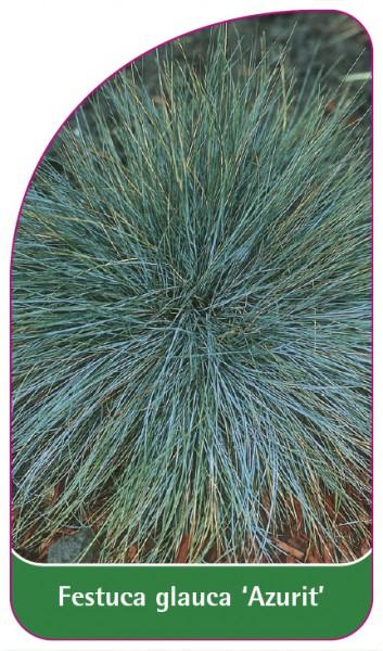 Festuca glauca 'Azurit', 68 x 120 mm