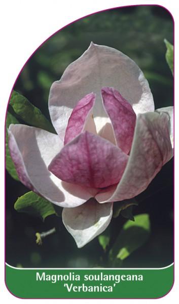 Magnolia soulangeana 'Verbanica', 68 x 120 mm