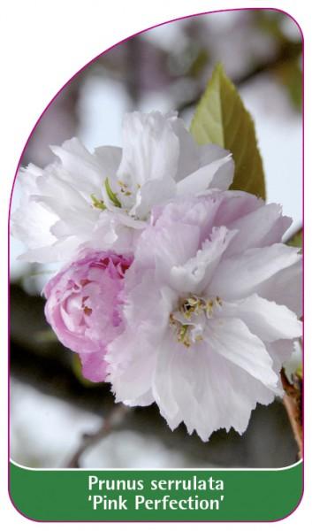 Prunus serrulata 'Pink Perfection', 68 x 120 mm