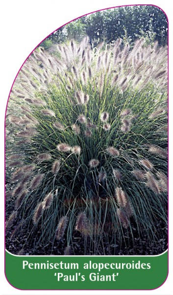 Pennisetum alopecuroides 'Paul's Giant', 68 x 120 mm